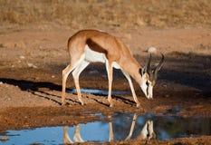 反射在水中的羚羊属 库存图片