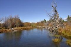 反射在水中的老树 免版税库存照片