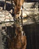 反射在sitatunga的水中 图库摄影