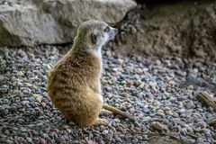 反射性meerkat 库存照片