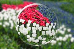 反射红色白色郁金香和蓝色葡萄风信花的玻璃球形 免版税库存图片
