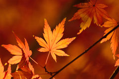 反射阳光的槭树叶子 免版税库存照片