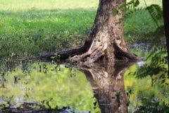 反射,如果一个树干在Chatuchak公园曼谷的水中 库存图片