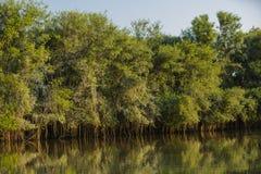 反射:密林树和藤在河 免版税库存图片
