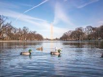 反射水池的鸭子 免版税图库摄影