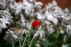 反常天气在春天在西伯利亚在一夜可以,用雪和开花盖 免版税库存图片