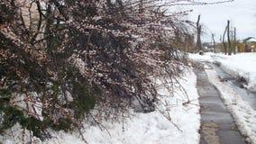 反常天气在4月在春天 在暴风雪以后的下落的树 股票录像