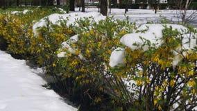 反常天气在4月 有绿色用雪盖的灌木和树的春天公园 股票录像