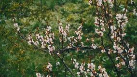 反常天气 雪在杏子开花的树去在4月 股票录像