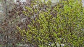 反常天气 雪在4月下旬 在树、绿色叶子和花 影视素材