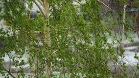 反常天气 雪在4月下旬 在树、绿色叶子和花 股票录像