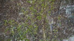 反常天气 雪在绿色树去并且在4月离开在春天 慢的行动 股票录像