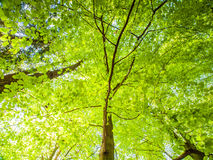 反弹在与太阳照亮的豪华的鲜绿色的叶子的森林底视图树 自然本底墙纸 库存图片