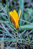 反弹的其中一朵首先花 春天、花和番红花温暖的光芒  免版税库存照片