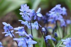 反弹蓝色Scilla第一朵花与绿色叶子的在自然情况的解冻的雪特写镜头以后登高 免版税库存图片