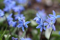反弹蓝色Scilla第一朵花与绿色叶子的在自然情况的解冻的雪特写镜头以后登高 图库摄影