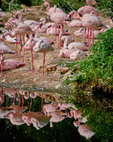 反映在小湖的火鸟 免版税图库摄影