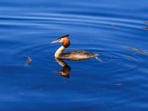反映在水中的伟大的有顶饰格里布 免版税库存照片
