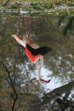 反映更加伟大的火鸟 免版税库存图片