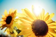 发光在两个向日葵后的太阳 免版税库存图片