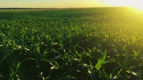 发光在乡下农村风景绿色玉米麦地种植园上的太阳 农田在6月月 痛苦 股票视频
