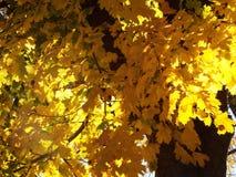 发光在明亮的黄色叶子后的黄昏太阳 库存照片