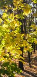 发光在星期日的秋叶。 免版税库存图片