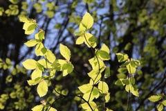 发光在春天阳光的叶子 库存图片
