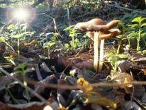 发光在有些蘑菇在森林里的阳光 图库摄影
