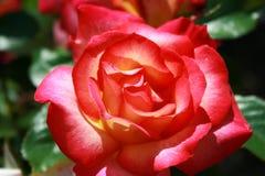 发光在红色和黄色玫瑰的瓣的太阳 库存图片
