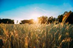 发光在绿色麦田农业风景的夏天太阳  免版税库存图片
