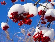 发光在阳光下山脉灰红色莓果在雪下盖帽的  免版税库存照片
