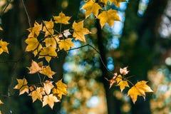 发光在阳光下的树叶子 库存照片