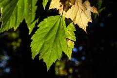发光在阳光下的树叶子 免版税图库摄影