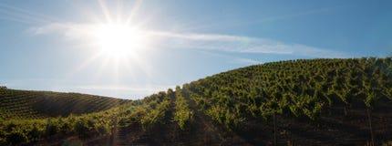 发光在Paso罗夫莱斯葡萄园的清早太阳在加利福尼亚美国中央谷地  免版税库存照片
