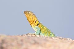 发光抓住衣领口的蜥蜴 图库摄影