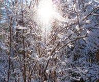 发光的冬天太阳通过积雪的灌木分支 免版税库存图片