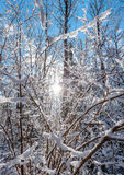发光的冬天太阳通过积雪的灌木分支 免版税图库摄影