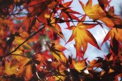 发光的叶子槭树 免版税库存图片