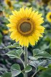 发光的向日葵 库存图片