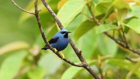 发光的在唐纳雀家庭的Honeycreeper - Cyanerpes lucidus小鸟 在热带新的世界在从sout的中美洲 股票录像