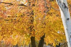 发光的山毛榉树 免版税库存照片