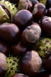 发光的布朗七叶树果实堆  图库摄影