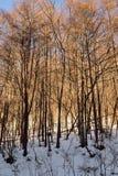 发光的斯诺伊杉木森林在日本 免版税图库摄影