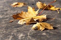 发光的秋叶在阳光下 免版税库存照片