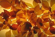 发光的秋叶 库存图片