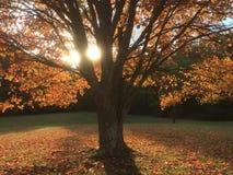 发光的秋天槭树叶子树 免版税库存照片