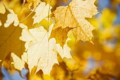 发光的秋天槭树叶子 库存照片