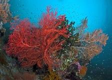 发光的红色seafan转动在洋流 免版税库存照片