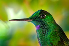 发光的绿色光滑的鸟细节画象  绿色蜂鸟在哥斯达黎加绿色加冠了精采,Heliodoxa jacula 小的鸟 图库摄影